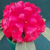 Rhododendron mallotum – Farrer 815