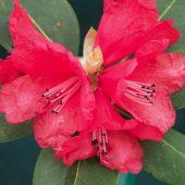 Rhododendron meddianum F 24104