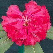 Rhododendron meddianum var atrokermesinum