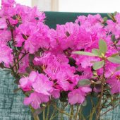 Rhododendron 'P J Mezzit'