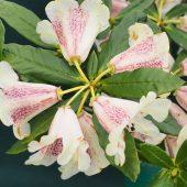 Rhododendron parmulatum 'Ocelot'