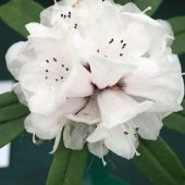 Rhododendron pachytrichum