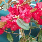 Rhododendron piercei