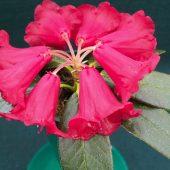 Rhododendron pocophorum var pocophorum