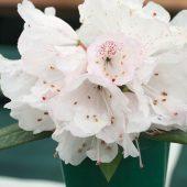 Rhododendron principis