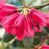 Rhododendron sperabile