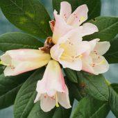 Rhododendron 'Spinbur'