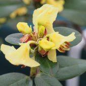 Rhododendron sulphureum – Forrest 15782