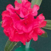 Rhododendron tanastylum