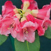 Rhododendron thompsonii candelabrum