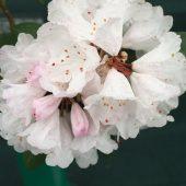 Rhododendron vellereum