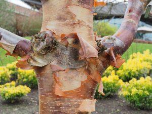 Betula utilis var prattii 'Wakehurst Chocolate'