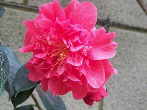 Camellia 'Dr Clifford Parks'