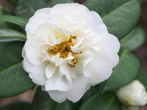 Camellia 'E T R Carlyon'