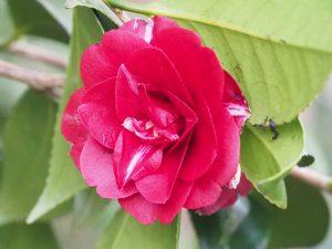 Camellia 'Konron-Koku'