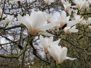 Magnolia 'Columbus'