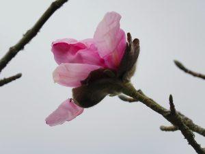 Magnolia sprengeri var sprengeri 'Eric Savill'