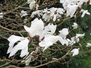 Magnolia salicifolia 'Concolor'