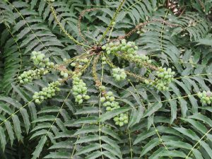 Mahonia oiwakensis ssp lomariifolia var tenuifolia