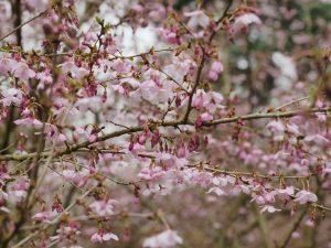Prunus incisa 'Beniomi'