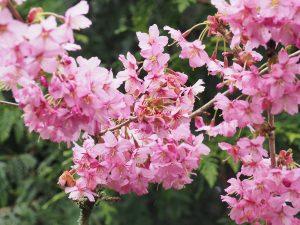 Prunus 'Shosar'