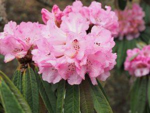 Rhododendron arboreum var roseum