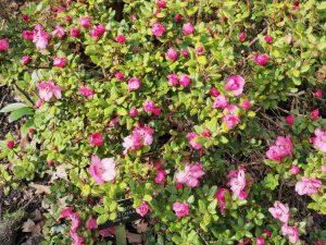 Rhododendron dendrocharis