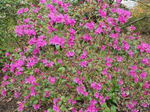 Rhododendron 'Minaura'