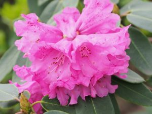 Rhododendron oreodoxa var fargesii 'Barto Rose'