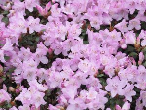 Rhododendron 'Rose Elf'
