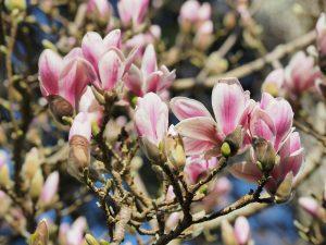 Magnolia denudata 'Dan Zin'