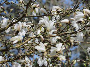 Magnolia 'Wadas Memory'