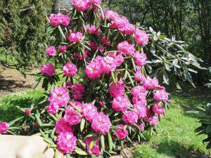 Rhododendron monstroseanum