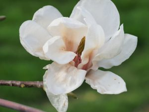 Magnolia sprengeri 'Daisy Diva'