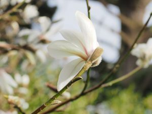 Magnolia salicifolia 'Rosea'