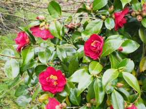 Camellia 'Candy Apple'