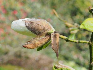 Magnolia pseudokobus 'Kubishimodoki'