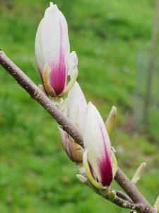 Magnolia 'Purpurascens'