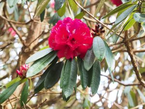 Rhododendron arboreum 'Blood Red'
