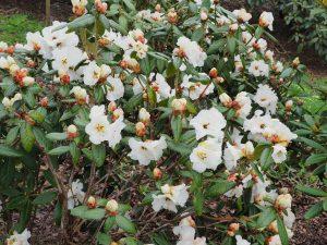 Rhododendron edgeworthii x leucaspis