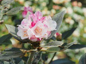 Rhododendron pseudochrysanthemum