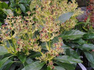 Aucuba japonica 'Rozanne'