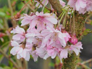Prunus autumnalis 'Rosea'