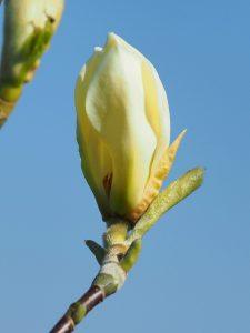 Magnolia 'Petit Chicon'