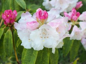 Rhododendron moorii
