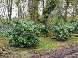Ilex platyphylla windbreak