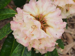 Rhododendron 'Loch Awe'