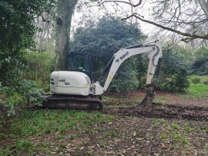 taking down an old beech tree