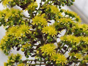 Aeonium arboreum 'Schwarzkop'