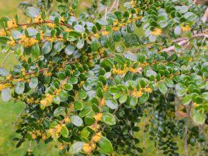 Azara integrifolia var brownea
